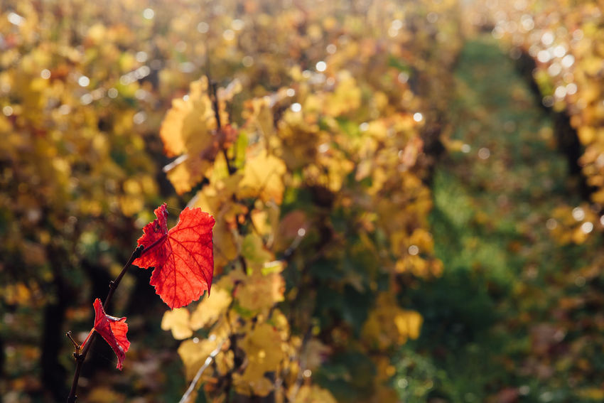 Bourgogne EyeEm Selects Growth In A Row Autumn Beauty In Nature Burgundy Change Close-up Day Flower Focus On Foreground Fragility Freshness Growth Leaf Maple Maple Leaf Nature No People Outdoors Plant Red Tree Vineyard