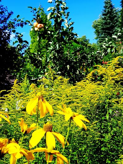 Weg durch den Garten Flower Tree Flower Head Yellow Blossom Sky Close-up Plant