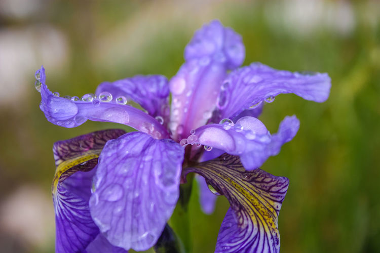 Beauty In Nature Blooming Close-up Day Drop Flower Flower Head Focus On Foreground Fragility Freshness Growth Iris Iris - Plant Nature No People Outdoors Petal Purple Water Wet