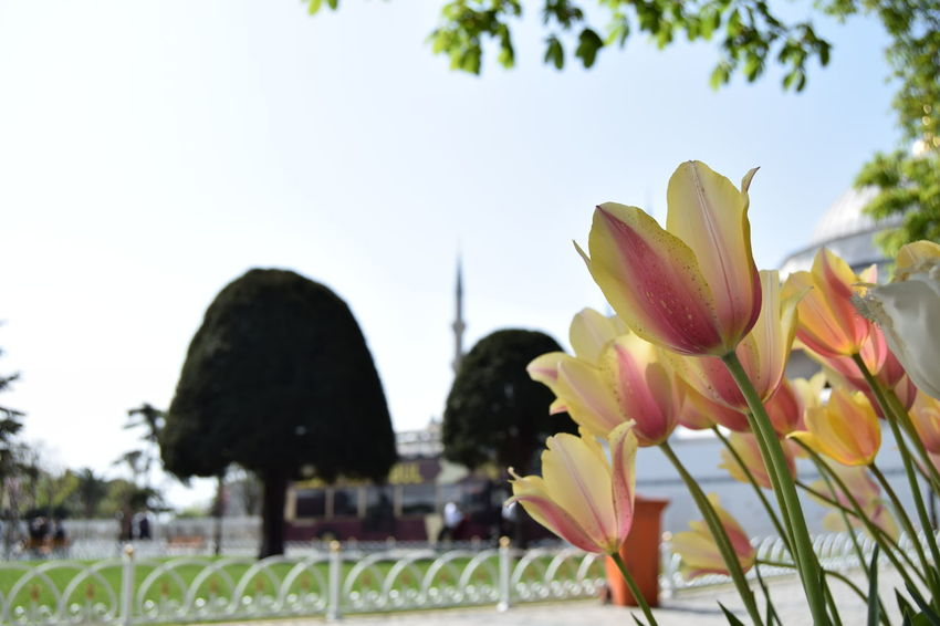 Beauty In Nature Blooming D3300 EyeEm Best Shots EyeEm Nature Lover Flower Flower Head Focus On Foreground Freshness Grass Lale Lale'i_İstanbul Nature Nikon Nikonphotography Sky Sultanahmet Sultanahmetmeydanı The Great Outdoors - 2017 EyeEm Awards Tree Tulip Tulips Tulips Flowers Tulips🌷 Tulpen