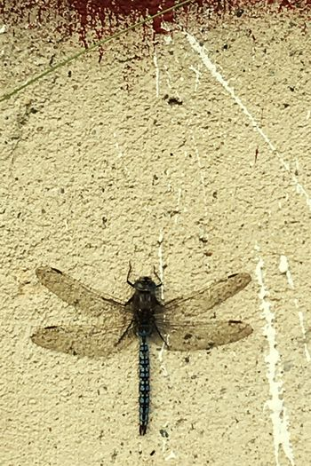 Insect Dragonfly Photograohy Close-up