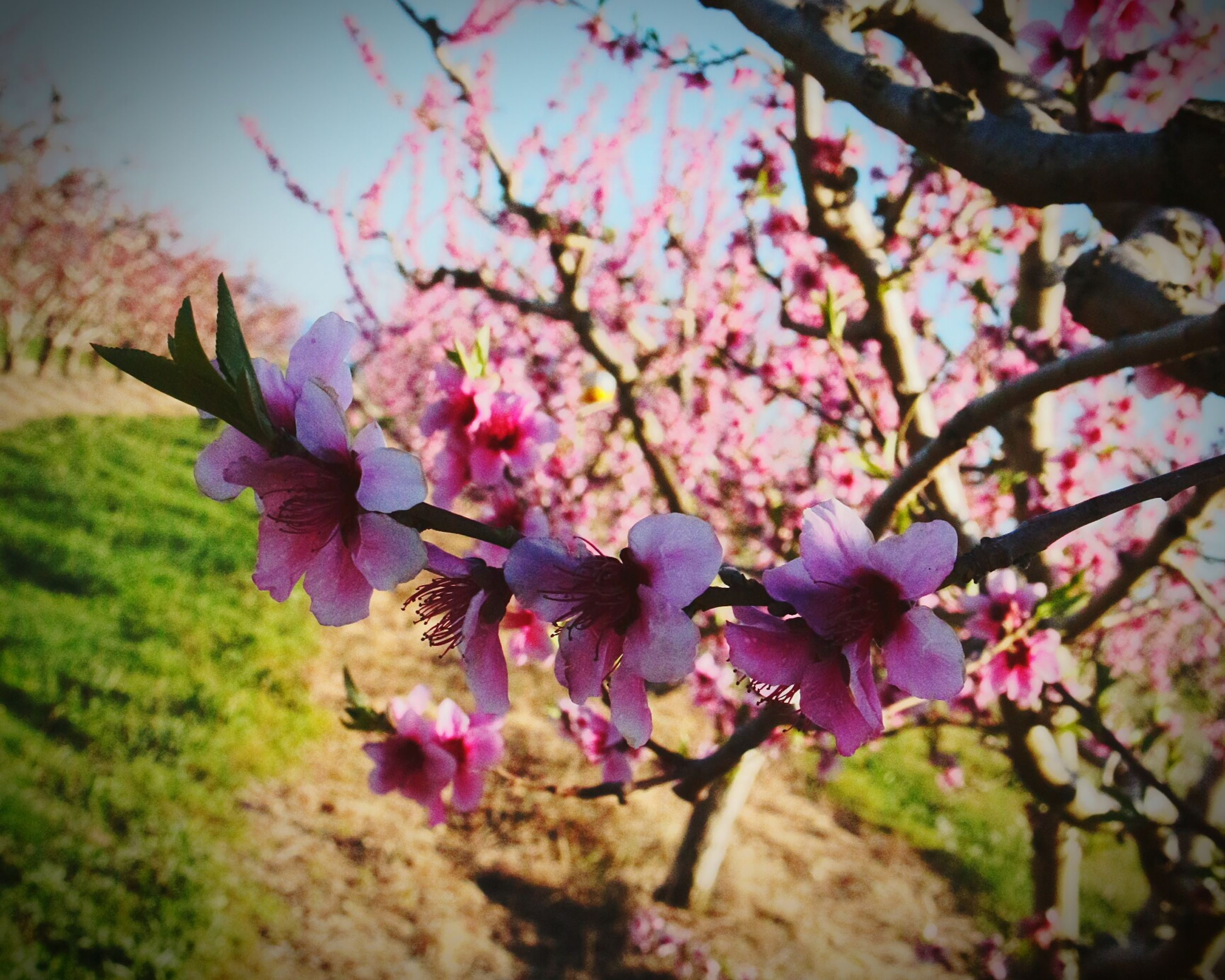 flower, freshness, growth, fragility, beauty in nature, pink color, branch, nature, blossom, petal, tree, blooming, focus on foreground, purple, in bloom, close-up, springtime, flower head, day, plant