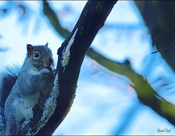 A wee Squirrel. ISO 800 . f5.6 1/500 Igbest_shots Ig_supershots Ig_captures Ig_shutterbugs Naturelovers Nature_sultans Nature_shooters Ig_captures Ig_wildlife Sqirrels Special_shots Thebest_captures Princely_shotz Wildlifephotography Wildlife_seekers Splendid_shotz Wildlife_perfection