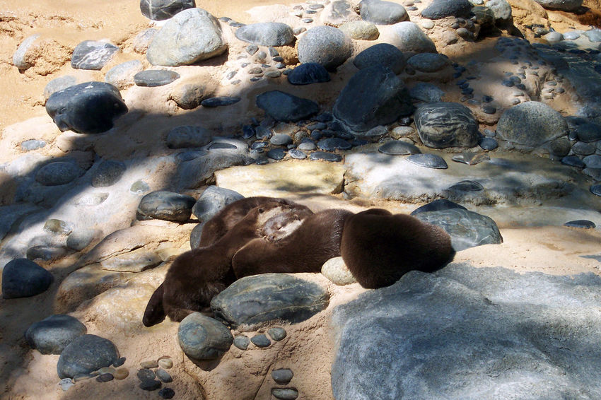 Enjoy light Little Group Of Otters Sleeping Animals And Light Lutra Calmness Otters SlippingPelage Lights And Shadows EyeEm Nature Lover Pebbles Rocks Pebble Mustelidae Protected Animals Eyeem Best Shots - Animals In France