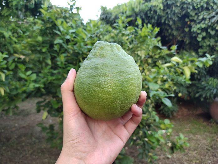 Big lemon from my garden