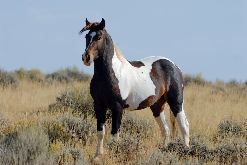 Wild mustang horse in Wyoming. Blm Land Mustang Wild Horse Animal Themes Blm Day Equine Equine Photography Equines Of Eye Em Field Foal Grass Horse Mammal Mustang American Muscle Nature No People One Animal Outdoors Range Horse Sky Standing Wild Horses In Wyoming Wild Mustang