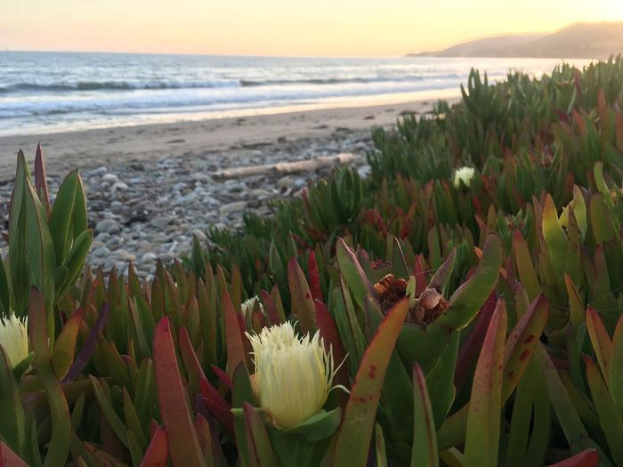 Wish you were here... The Great Outdoors - 2018 EyeEm Awards Beach Sunset Landscape Taking Photos Taking Photos Plant Beauty In Nature Sea Water Beach Growth Horizon Over Water Nature Scenics - Nature Horizon Sky Tranquility No People Succulent Plant Flowering Plant Flower Close-up Tranquil Scene Land