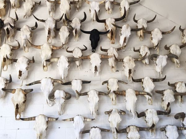Odd one out Abstract Abundance Animal Themes Arrangement Backgrounds Bull Bulls Change Cow Cows Death Death & Decay Directly Above Hanging Large Group Of Objects No People Odd One Out Oddities Order Skull Skulls Skulls And Bones Variation White And Black Showcase: February