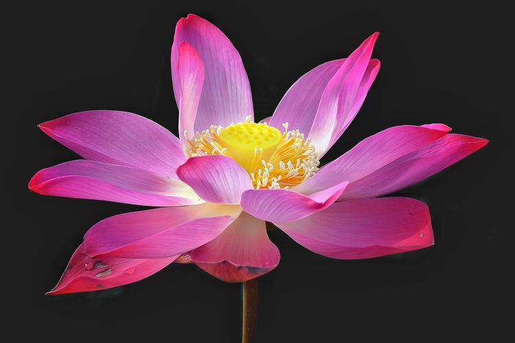 Close-up of pink flower blooming against black background