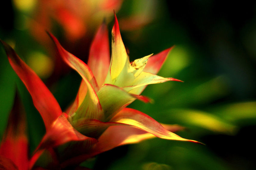 Bromeliad red yellow flowers have been shining. Background Beauty In Nature Bokeh Bromeliad Flower Close-up Day Flower Flower Head Focus On Foreground Fragility Freshness Growth Nature No People Outdoors Petal Plant Red Color Shining Tranlucent Tıp Yellow Color