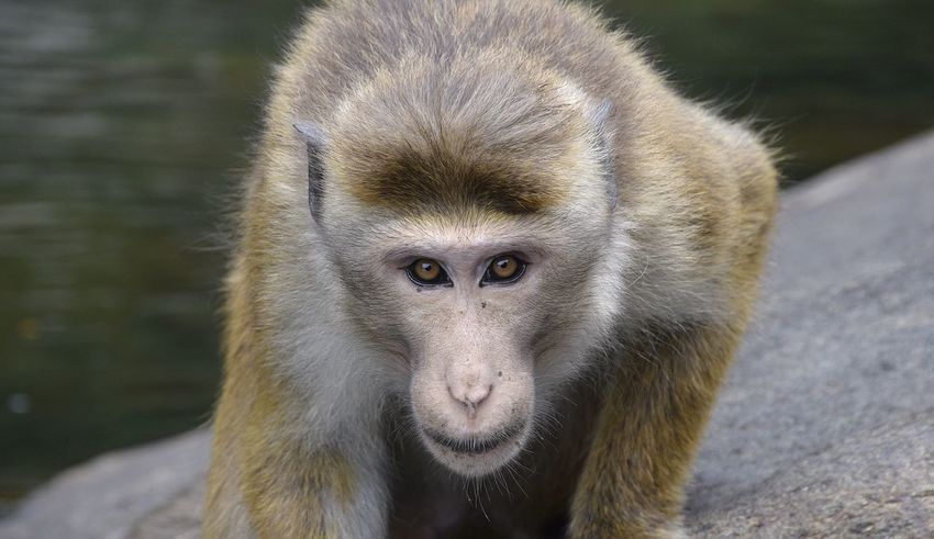 Back into staring the lens down... Alertness Animal Body Part Animal Hair Animal Head  Animal Themes Close-up Day Focus On Foreground Gorilla Mammal Monkey Nature No People Outdoors Portrait Primate Selective Focus Stare Down Whisker Wildlife