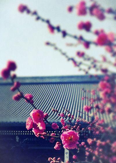 Ume Blossom Japanese Plum Blossom Japanese Plum Blossoms Nishihonganji Kyoto,japan Kyoto, Japan Adoration ♫Image-Autumn-Womb (Goldmund)