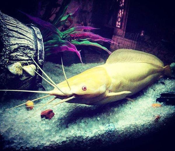 Catfish Myaquarium Aqualife Nexus5photography Chandigarh Fishlover Whiskers Beast