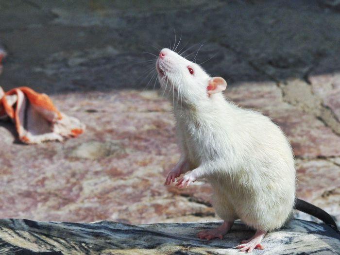 white rat Rat White Animals India Indiapictures Photooftheday The Week Of Eyeem Photography Albino