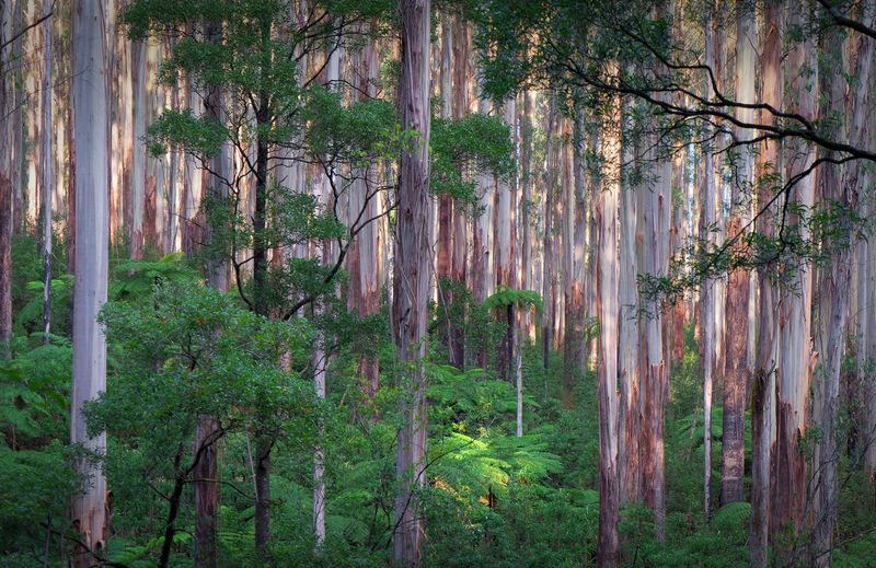 Healesville Victoria Black Spur Mountain Ash Eucalyptus Dappled Sunlight Afternoon Forest Virgin Forest Habitat Tree Growth Tranquility Trunk WoodLand Tranquil Scene No People Environment Beauty In Nature Non-urban Scene Outdoors Remote Landscape Green Color
