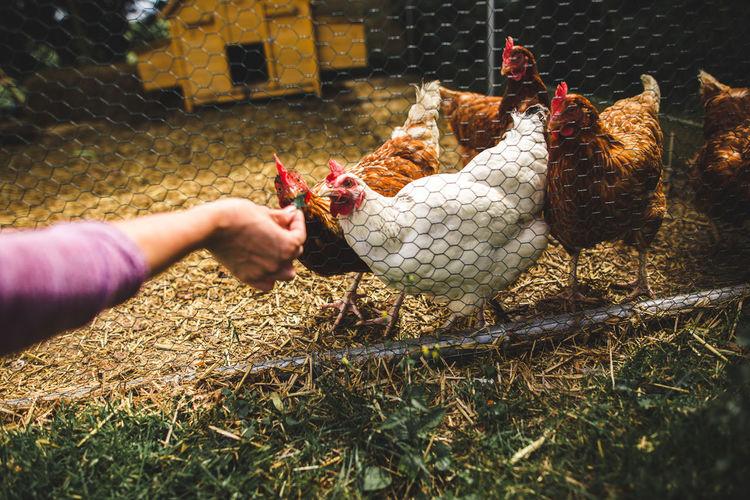 Person feeding chicken