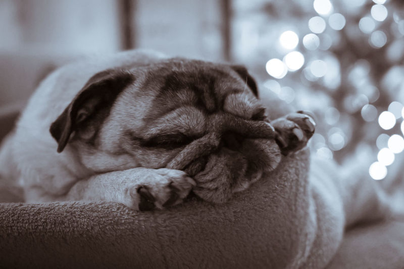 Close-up of pug sleeping on bed