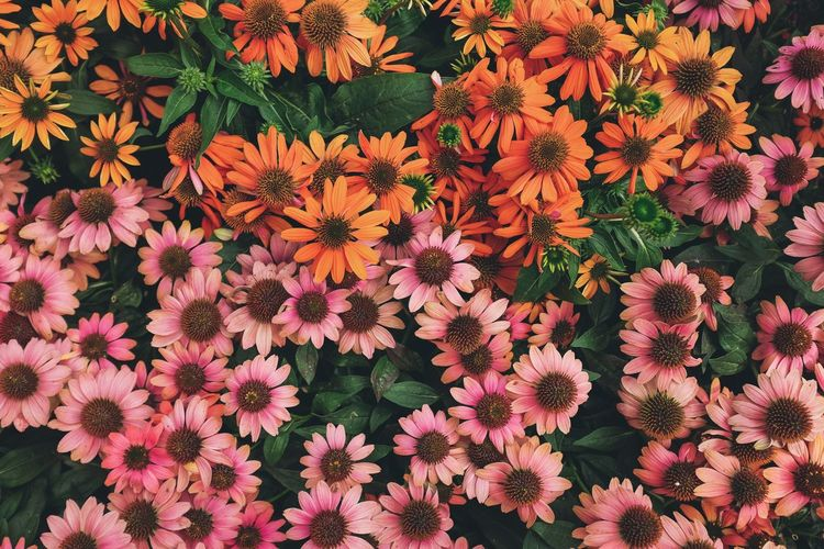 Orange and pink. Flowers Orange Pink Flower Nature Beauty In Nature Growth Freshness Plant Outdoors No People Petal Flower Head Blooming