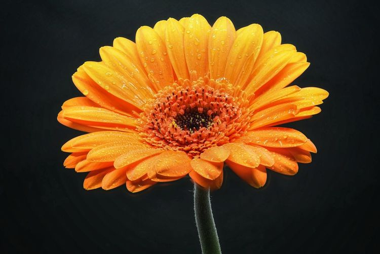 Flower Head Black Background Flower Yellow Petal Pollen Poppy Close-up Plant Gerbera Daisy