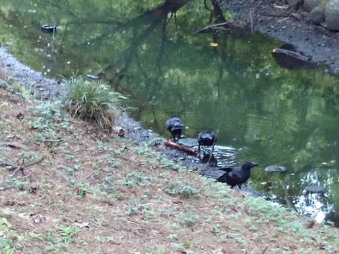 very hot!! Crow Green Shinjuku-gyoen Tokyo,Japan Water Bird Swimming Reptile Grass