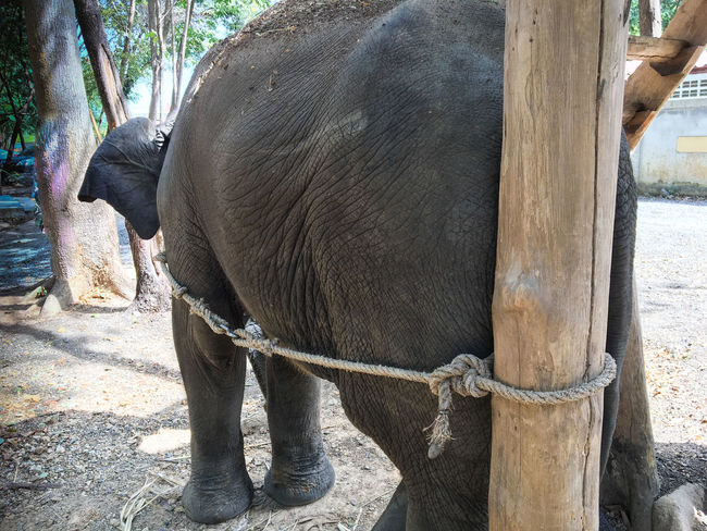 Animal Themes Animals In The Wild Day Elephant Freedom Imprisoned Low Section Mammal Nature No People One Animal Outdoors Sunlight Tied Tied Up Tree Trunk