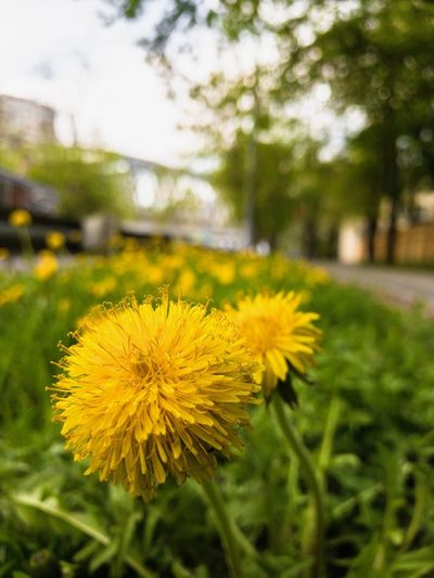 Yellow Flower Flowering Plant Plant Freshness Growth Beauty In Nature Vulnerability  Close-up Fragility Focus On Foreground Inflorescence Flower Head Dandelion Nature No People Field Land Day Petal
