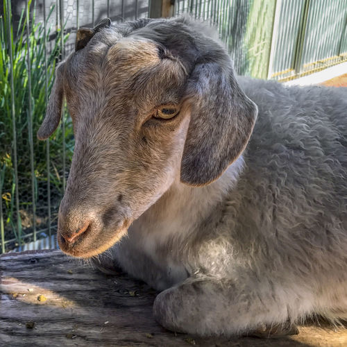 Goat. Animal Animal Body Part Animal Head  Animal Themes Close-up Day Domestic Domestic Animals Field Focus On Foreground Herbivorous Land Livestock Mammal Nature No People One Animal Outdoors Pets Relaxation Vertebrate
