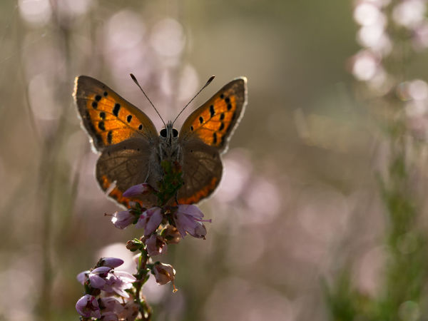 Small copper, Lycaena phlaeas Backlight Nature Plant Butterfly Flower Insect Macro Outdoors