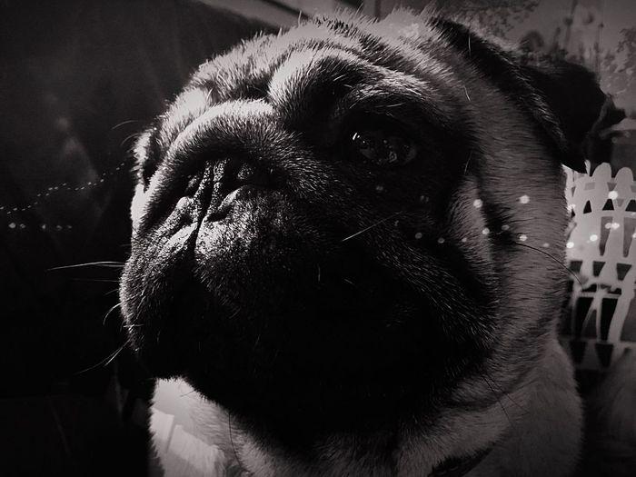 Pug Carlin Dog Dogs Blackandwhite Noir Et Blanc Blancoynegro Pet Portraits