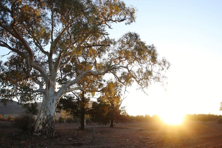 Outback Outdoor Photography Outback Australia GumTree Tree Sunset Rural Scene Sky Sunbeam Sunrise Lens Flare Countryside Leaves Light Beam