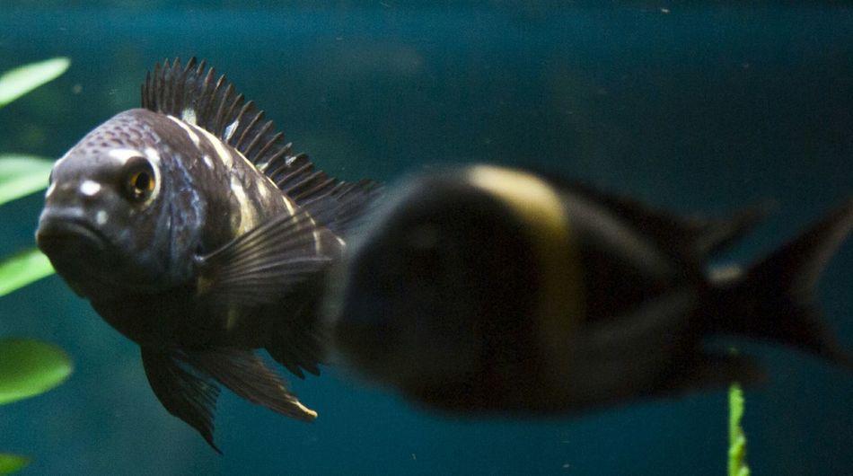 Cichlids African Cichlids Tropheus Tropheus Duboisi Fish