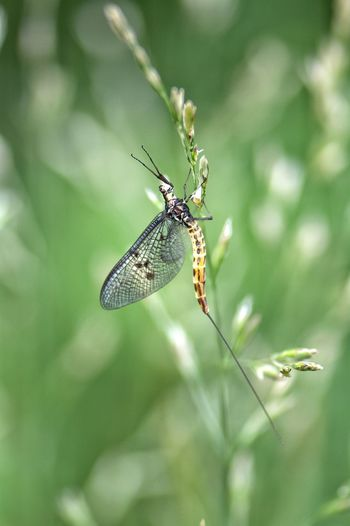 Mayfly... Mayfly Insect Love Nature Color Photography Perfect Shot It Is Very Beautiful Beauty In Nature Nikon_photography_ So Beatiful Hello World EyeEm Gallery Eyeem4photography Capture The Moment Nature Wow Shot So Beautiful View Colors Green Color Green Nature Colors Of Nature Scenics Outdoors Forest Life Beauty_collection 10