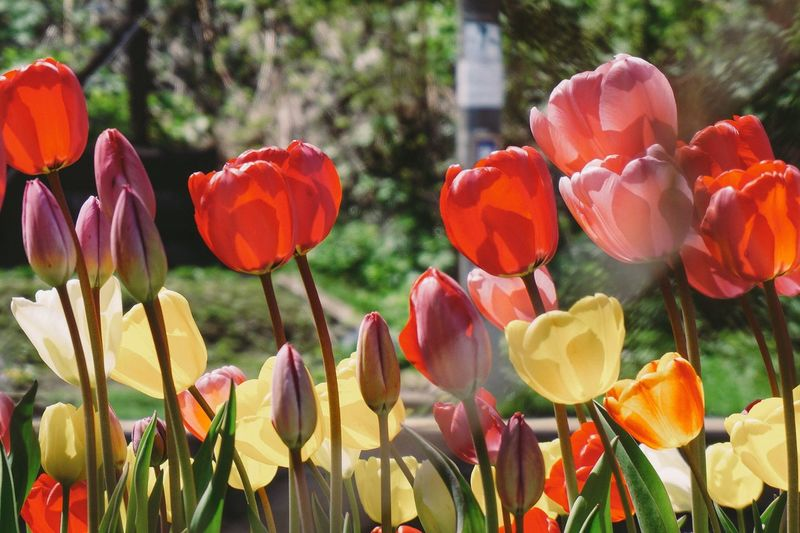 Tulips Flower Beauty In Nature Freshness Fragility Nature Growth Petal Plant Flower Head Blooming Focus On Foreground No People Field Day Outdoors Close-up Multi Colored Tulip Tulips Japan EyeEm Best Shots EyeEm Nature Lover Eyeemmarket Market
