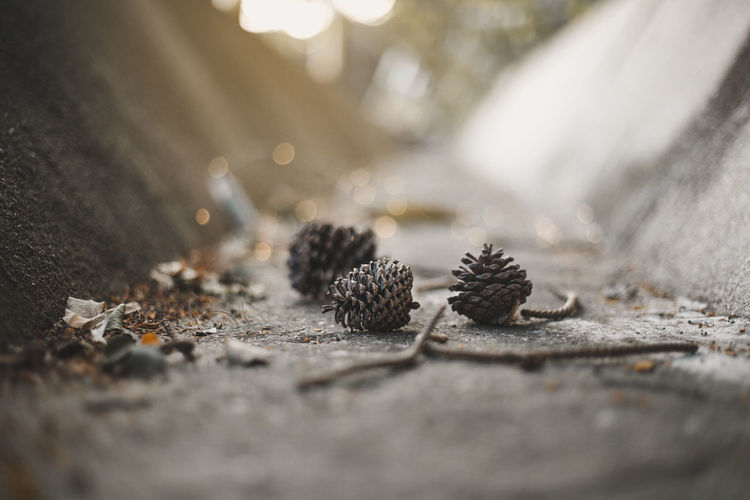 I miss winter Pine Cones Thailand Winter Close-up Day Falling Food Food And Drink Ground Miss Winter Nakhonsawan City Nature No People Outdoors Pine Cone Road Rough Selective Focus Solid Still Life Surface Level Table Textured  Wood - Material