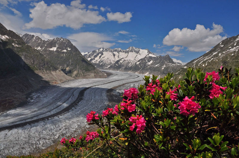 Close-up of flowering plants against snow covered mountains