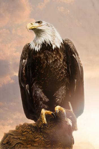 Wild Eagle American Eagle Beautiful Nature Eagle Eagle Spirit Nature Vogel Bird Birds Eagle Photo Eagle Photography Eagle Portrait Eagles Free Eagle Indian Spirit Indian Spirits Indiannature See Eagle Wildlife