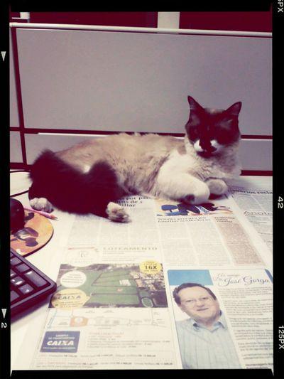 gato muso