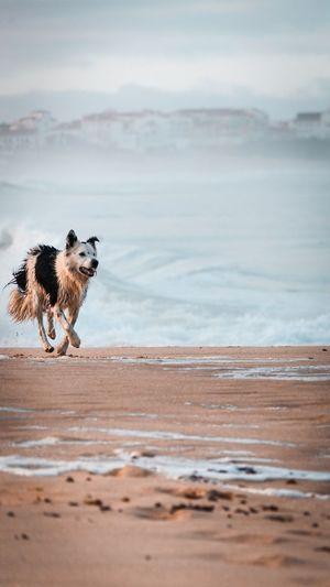 Dog Running On Shore Of Beach
