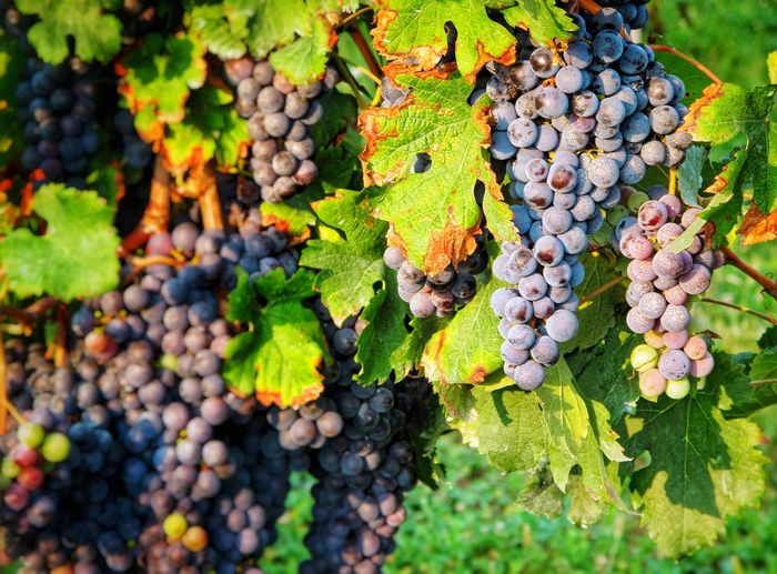 merlot grapes Vine - Plant Vineyard Cultivation Grape Grapes Grapes 🍇 Grapevine Merlot Wine Grapes Merlot Grapes Merlot Fruit Leaf Autumn Fruit Grape Agriculture Bunch Wine Close-up Green Color Red Grape Vineyard Cultivated Land Agricultural Field Cultivated Winemaking Vine Farmland