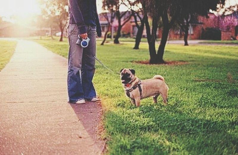 Pugsnotdrugs  Pet Love Puglover Pug