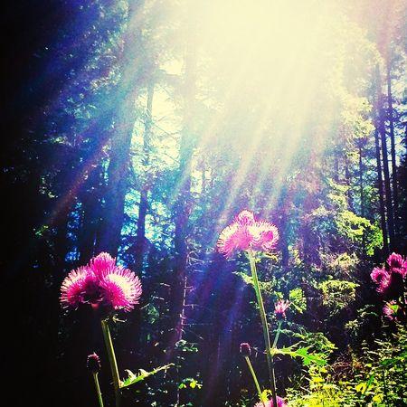 Sunny Rays Forest Rila Bulgaria