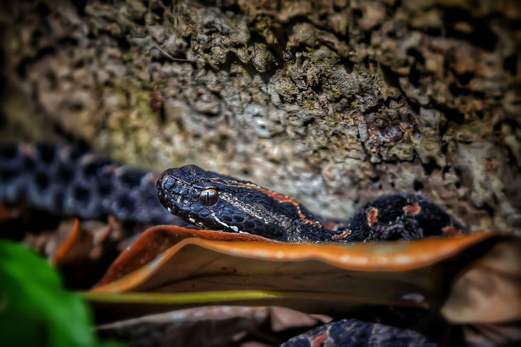 Close-up of pygmy rattlesnake