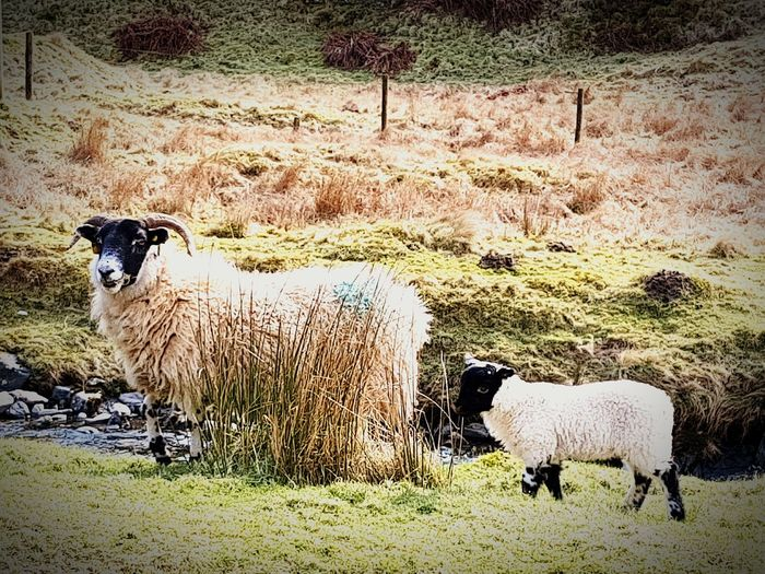 Animal Themes Domestic Animals Livestock Sheep Nature Field Mammal Grass Outdoors Beauty In Nature No People Day Taking Pictures S7 Edge Taking Photos Dumfries And Galloway S7 Edge Photography Landscape Nature S7edgephotography Scenics Drivingshots Beauty In Nature Showcase March 2017 Animal Love The Great Outdoors - 2017 EyeEm Awards