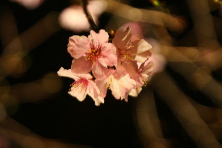 2017新竹公園櫻花季 Beauty In Nature Flower Nature Outdoors Pink Color First Eyeem Photo