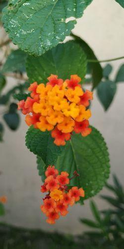 pétalos Flower