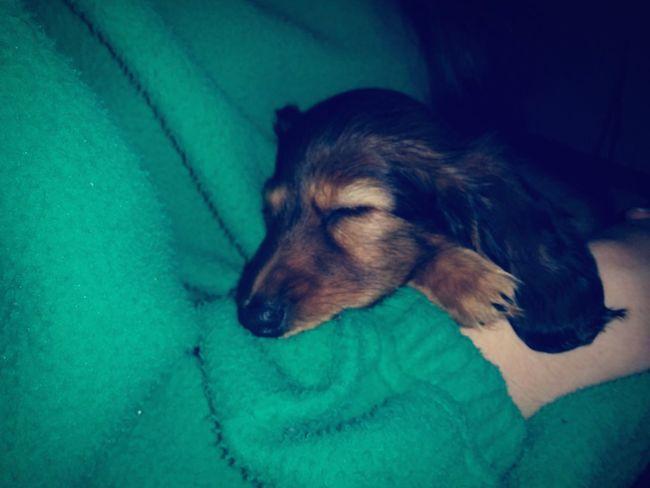 New puppy 🐶💕 Dog Animal Dachshund Cute Puppy Baby Dog