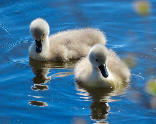 Two baby swans cygnets swimming blu water reflections birdwatching closeup Birds of EyeEm beauty in nature Animal Themes Bird Water Young Bird Floating On Water No People