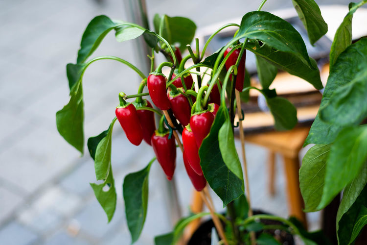 Beauty In Nature Chili Pepper Close-up Day Focus On Foreground Food Food And Drink Freshness Fruit Green Color Growth Healthy Eating Leaf Nature No People Outdoors Pepper Plant Plant Part Red Ripe