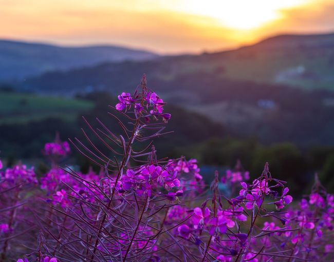 Golden Hour Flower Flowering Plant Beauty In Nature Plant Fragility Vulnerability  Freshness Tranquil Scene Blossom Sky Springtime Tranquility Close-up No People Pink Color Focus On Foreground Nature Purple Growth