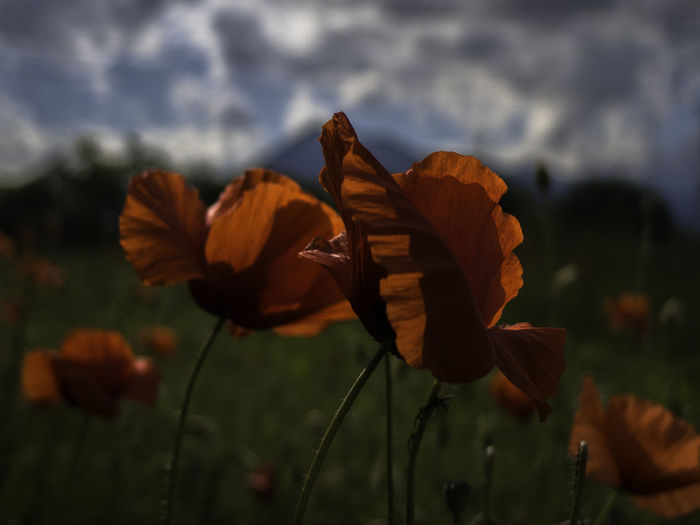 Anche quando non ti parlo Altro, Oltre Backlight Beauty In Nature Cloudy Skies Eye4nature EyeEm Best Shots - Nature Flower Flower Head Flowers Flowerstagram Focus On Foreground Fragility Growing Growth Mllml Petals Picoftheday Playing With Thoughts Poppies  Poppy Flowers Tadaa Community The Great Outdoors - 2016 EyeEm Awards Showcase June Colour Of Life